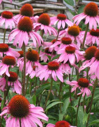 echinacea on the risc roof garden